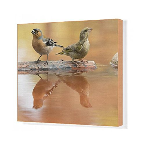 20x16 Canvas Print of Birds of the species, male Chaffinch bird species, (Fringilla coelebs) (13283495) by Media Storehouse