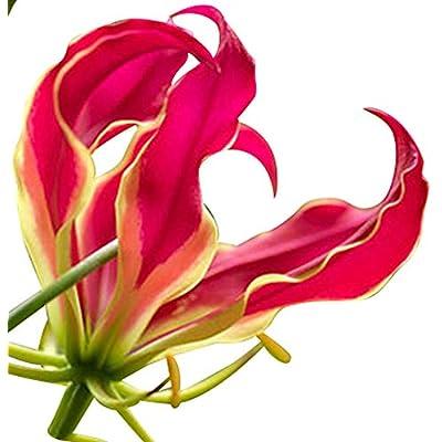 Red/Orange Gloriosa Lily - Climbing Vine - 15 Seeds : Garden & Outdoor
