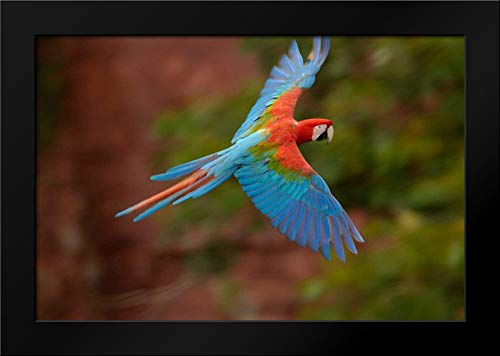 Red and Green Macaw Flying, Mato Grosso do Sul, Brazil Framed Art Print by Oxford, -