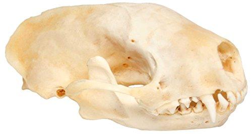 Real Bone Skunk Skull