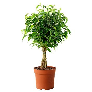 Vedanta Sales Ficus Benjamina Ficus Black Weeping Fig Live...
