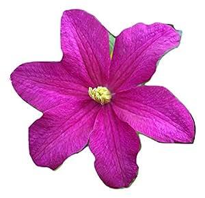 CLEMATIS REMEMBRANCE-A regalo o monumento de homenaje Floral, memoria, memoria