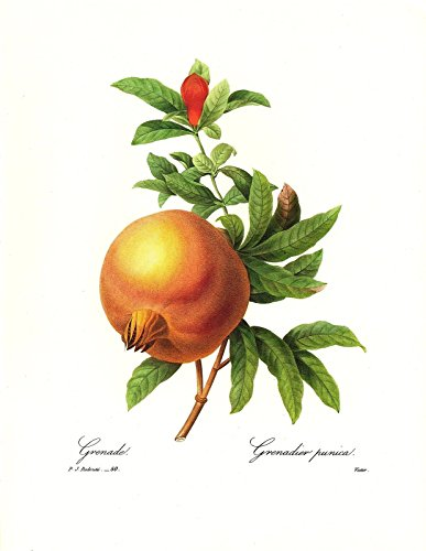 1991 Vintage REDOUTE FLOWER #50 POMEGRANATE GRENADIER Color Art Print -