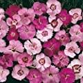 200+ Flower Seeds Dianthus plumarius Cottage Pinks Mixed Colors by Seeds and Things