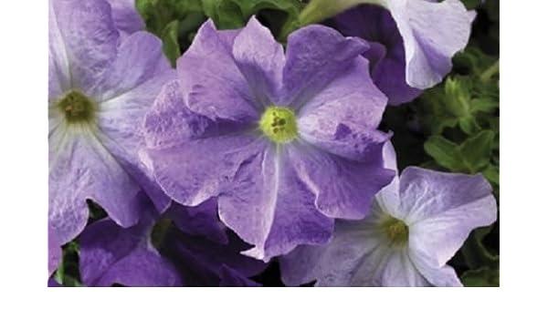 Petunia Seeds 50 Pelleted Seeds Tritunia Blue Star Pelleted Petunia Seeds