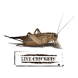 Crickets - Live Delivery Guaranteed - Same Day Fast Shipping (500 Count, 4 Week ? 1/2\