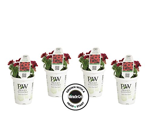 4-pack Proven Winners Supertunia Black Cherry Grown with Miracle-Gro Head Start Fertilizer (Petunia) Live Plant, Dark Red Flowers with Black Accents, 4.25 in. Grande Review