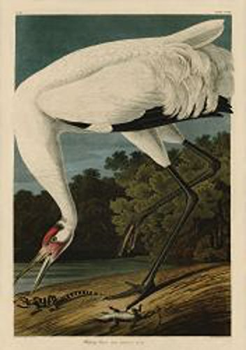 White Heron by John James Audubon Wildlife Bird Animal Nature Print Poster 18x26