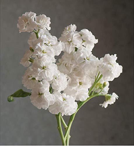 - David's Garden Seeds Flower Stock Quartet White SL7485 (White) 50 Non-GMO, Open Pollinated Seeds