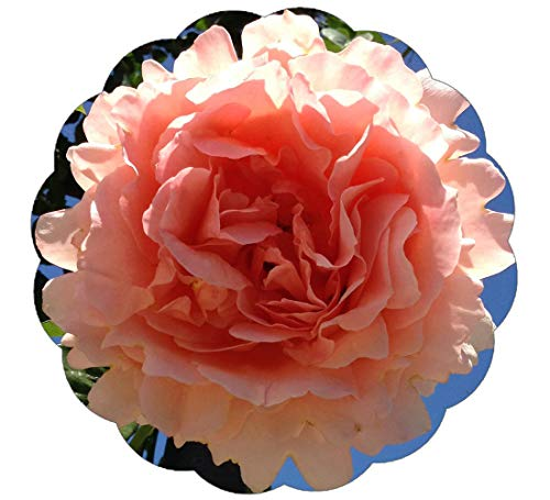 Stargazer Perennials Polka Rose Plant Potted Reblooming Fragrant Apricot Climbing Rose - Peach ()