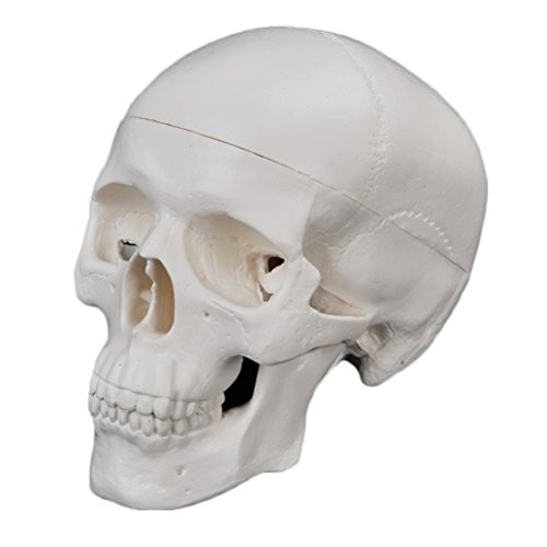 JUNKE Human Skull Model – PVC Mini Medical Head Bone Model Ornament, 9×10×7cm, 3 Part -