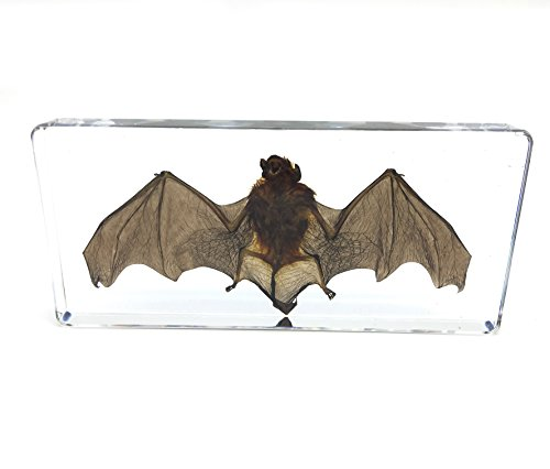 Bat Specimens Science Classroom Specimen for Science Education