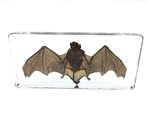 Bat Specimens Science Classroom Specimen for Science Education(5.5x2.5x0.7 Inch)