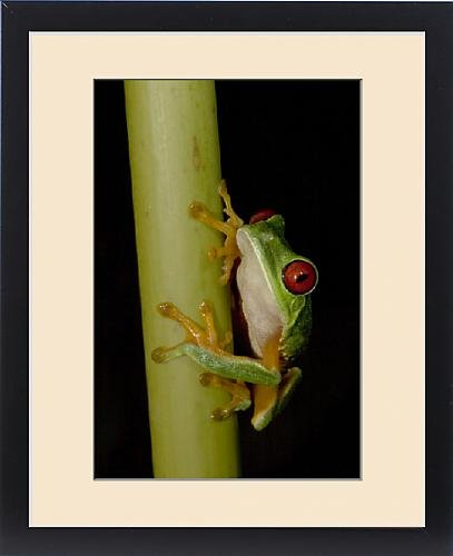 Framed Print of Male red-eyed leaf-frog (Agalychnis callidryas), photographed in Fincas by Fine Art Storehouse
