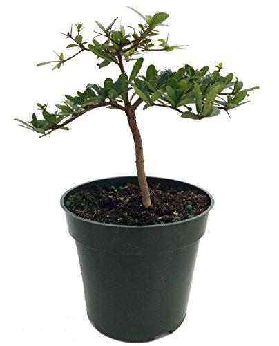Dwarf Black Olive Pre-Bonsai Tree - Great Indoors - 4