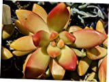 ZUW 1 Rooted Cutting Sedum Nussbaumerianum Green Copper Edge Succulent - RK97