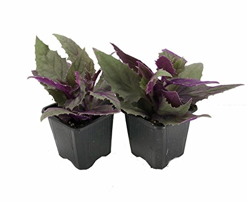 Purple Passion - 2 Live Plants 3