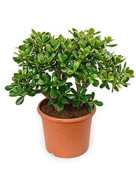 Geldbaum Ca 55 Cm Balkonpflanze Wenig Wasser Terrassenpflanze