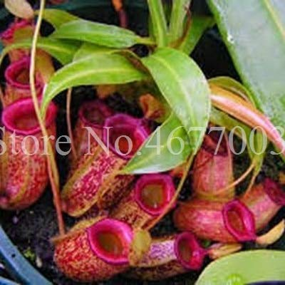 50Pcs Striped Nepenthes Seeds Eating Mosquito Carnivorous Seeds Tropical Pitcher Seeds Catch Insect Garden Seeds : 11