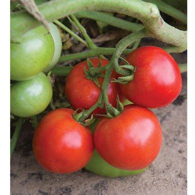 defiant tomato seeds - 2