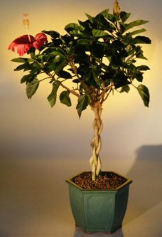 Bonsai Boy's Flowering Tropical Red Hibiscus Braided Trunk rosa sinsensis by Bonsai Boy