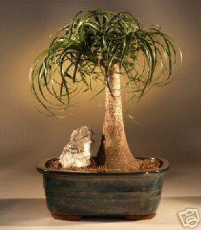 YTAIL PALM BONSAI TREE ()