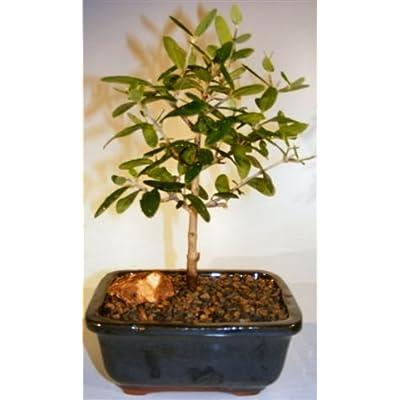 Flowering and Fruiting European Olive Bonsai Tree olea europaea : Garden & Outdoor
