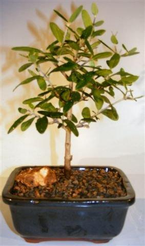 Flowering and Fruiting European Olive Bonsai Tree olea europaea by Bonsai Boy