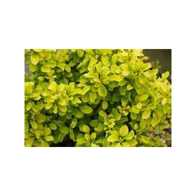 (2 Gallon) Golden Barberry, Super Bright Solid Yellow Foliage, Great for Contrast and Accent Shrub, Mass Plantings : Garden & Outdoor