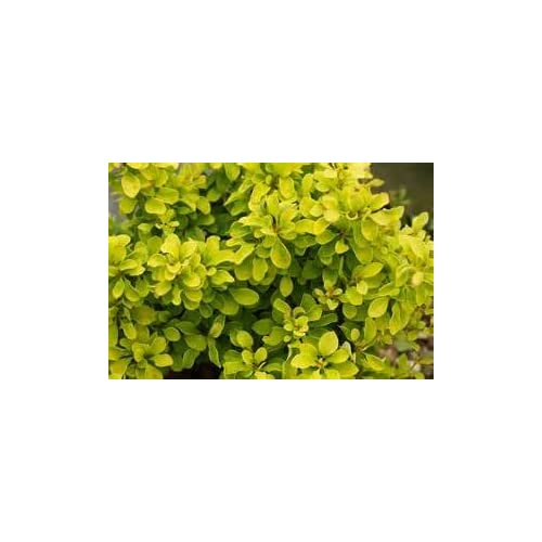 (1 Gallon)Golden Barberry , Super bright solid yellow foliage, Great for contrast and accent shrub, mass plantings(Evergreens , Gardenia) supplier