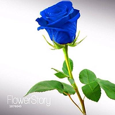 Big Sale!Blue Rose Fragrant Gardens Flowering Plants Strong, Blue Dragon rose, Blue Rose Seeds 150 PCS/Pack, #2AQBTP : Garden & Outdoor