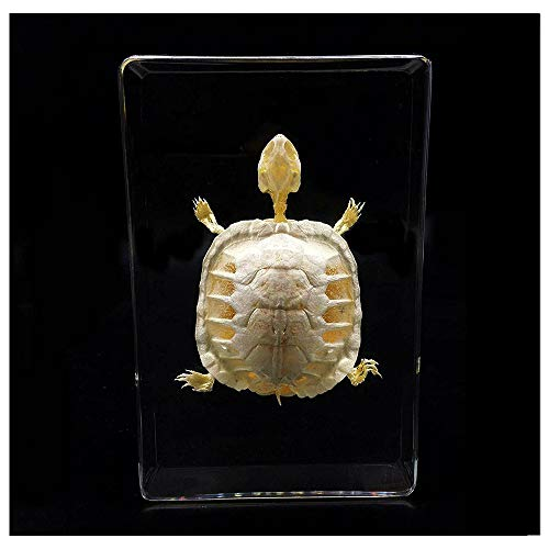 Turtle Skeleton Animal Specimen in Acrylic Block Paperweights Science Classroom Specimens for Science Education