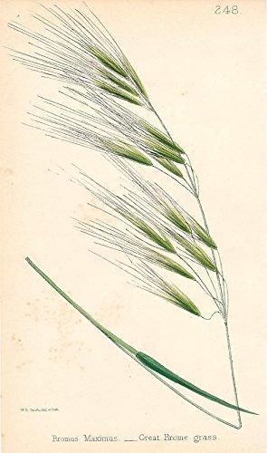 Brome Grass - 3