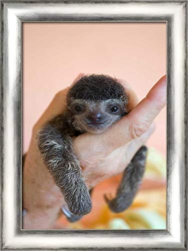 Brown-Throated Three-Toed Sloth Baby, Aviarios Sloth Sanctuary, Costa Rica 17x24 Silver Contemporary Wood Framed Canvas Art by Eszterhas, Suzi