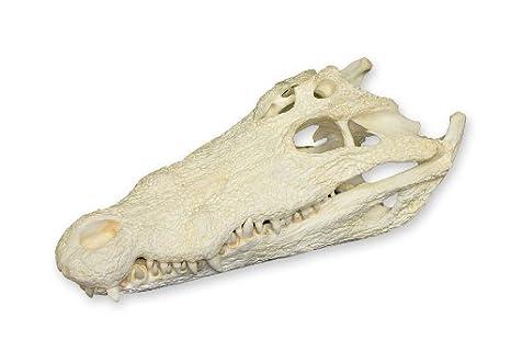 Nile Crocodile Skull Teaching Quality Replica Animal Anatomical