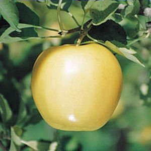 Golden Delicious apple tree 10 seeds