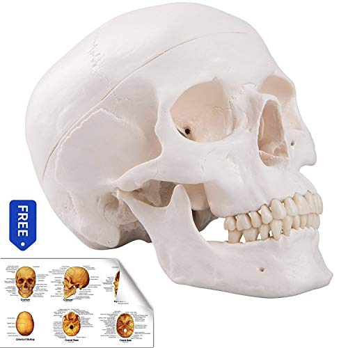 (RONTEN Human Skull Model, Life Size Replica Medical Anatomy Anatomical Adult Model with Removable Skull Cap and Articulated Mandible, Full Set of)