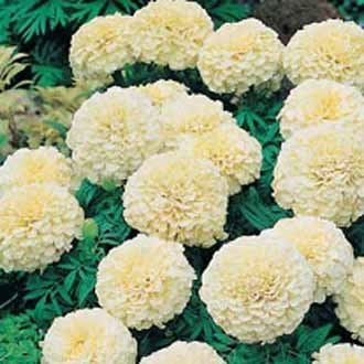 (Flower Seeds African White Marigold Hybrid Outside Sitting Room Seeds Kitchen Garden Seeds Pack by)