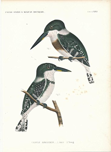 texas-kingfisher-adult-young-c1855-fine-antique-color-bird-print
