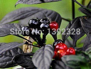 Brand New! 100pcs 100% Organic Black Pearl Pepper Seeds vegetables seeds Pearl Pepper