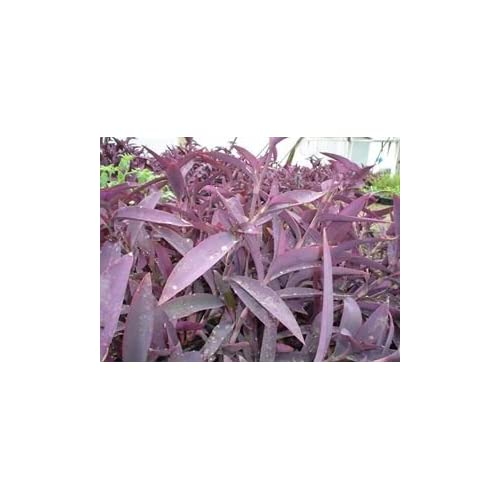 "Cheap (18 Count Flat-3.5"" Pots) Tradescantia Pallida (A.k.a. Setcreasea) Purple Heart (Ground Cover) Smooth Burgundy Foliage, Tiny, Three Petaled Pink Flowers in Spring/summer, Trailing Habit. for sale"