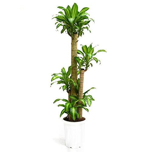 【装飾バークプレゼント】別名「幸福の木」 ドラセナ マッサン 大型10号 B072LZS9X3