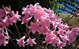 50 Amaryllis Belladonna - Pink Naked Ladies - Surprise Lily - 50 BULBS PER ORDER
