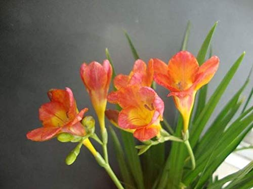 Orange Freesia Bulbs (4 Bulbs) Charming Beautiful Flowers High Germination Rate Rapidly Garden Potted