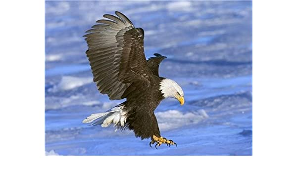 Eagle BIRD 8 x 10 8x10 GLOSSY Photo Picture IMAGE #2