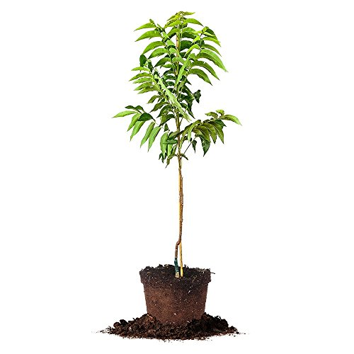 KANZA PECAN TREE - Size: 5 Gallon, live plant, includes s...