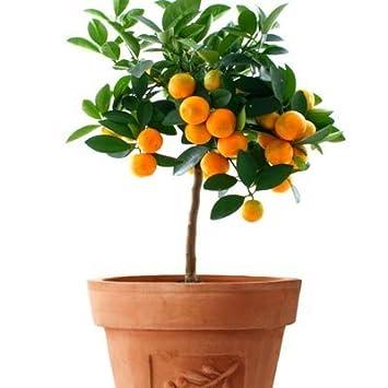 Amazon.com : Mandarin Orange Dwarf Seeds Indoors Outdoors Fruit ...