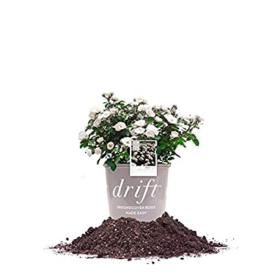 Perfect Plants White Drift Rose Live Plant, 1 Gallon, Includes Care Guide: Garden & Outdoor