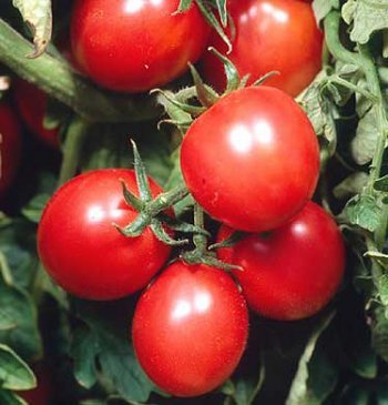 Sweet Girl Tomato Baby - Clovers Garden Sweet Baby Girl Tomato Plants- Two (2) Live Plants - Not Seeds -Each 4