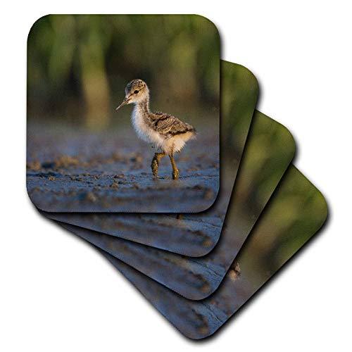 3dRose Danita Delimont - Birds - Black-necked Stilt chick forages on a lakeshore in Eastern Washington. - set of 8 Ceramic Tile Coasters (cst_315140_4)